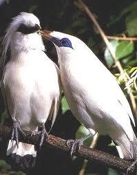 bali-bird-park-burung-jalak