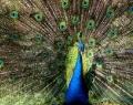 bali-bird-park-burung-merak