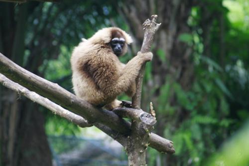 bali-zoo-park-gibbon