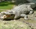 bali-zoo-park-crocodile
