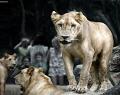 bali-zoo-park-singa