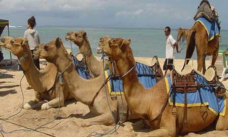 camel-safari-2