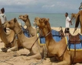 camel-safari-2