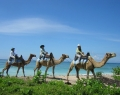 camel-safari-3
