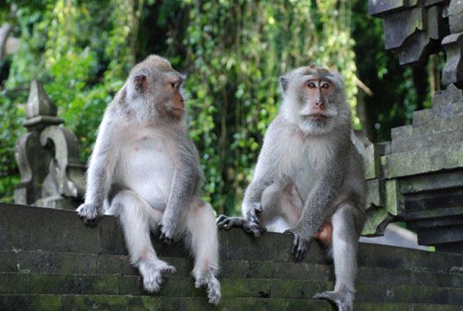 monkey-at-alas-kedaton