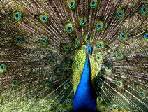 Bali Bird Park - Burung Merak